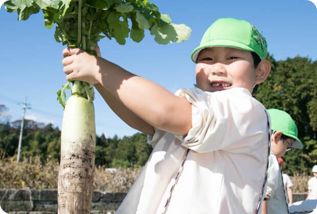大きな大根を掘る子供